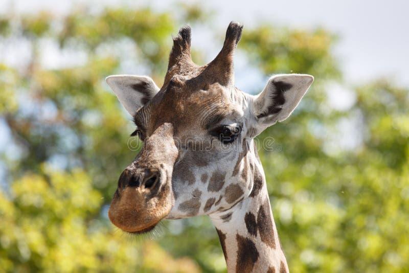 Głowa żyrafy zakończenie przeciw tłu zieleni drzewa fotografia stock