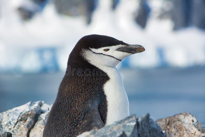 Głowa Adelie pingwinu zbliżenie w Antarctica obrazy royalty free
