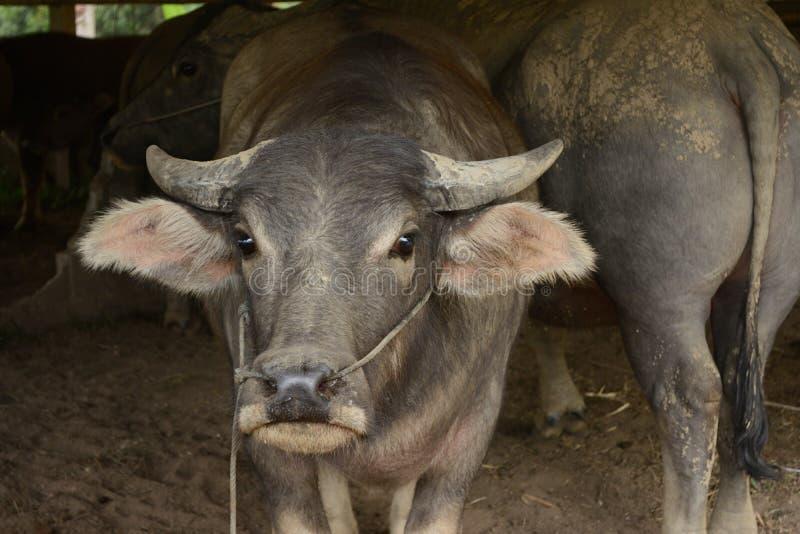 Głowa bizon obraz stock