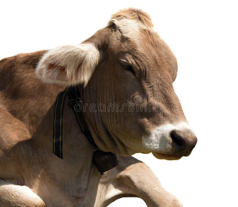 Głowa brown krowa z cowbell (bos primigenius taurus) zdjęcia royalty free