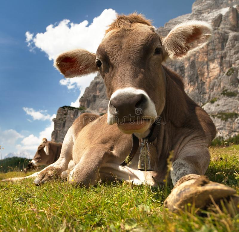 Głowa brown krowa z cowbell, (bos primigenius taurus) zdjęcia stock