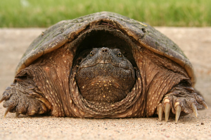 głowa chapnąć żółwia obrazy stock