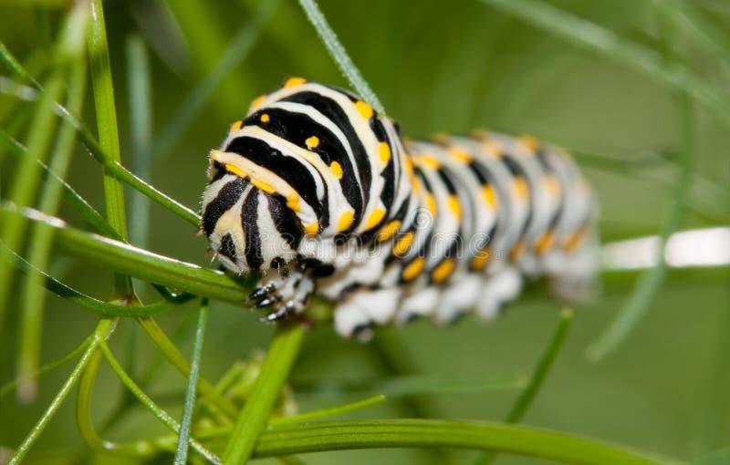 Głowa Czarna Swallowtail gąsienica obraz royalty free