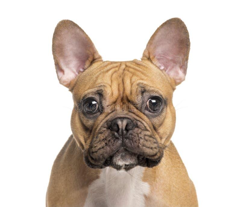 Głowa Francuski buldog zdjęcia royalty free