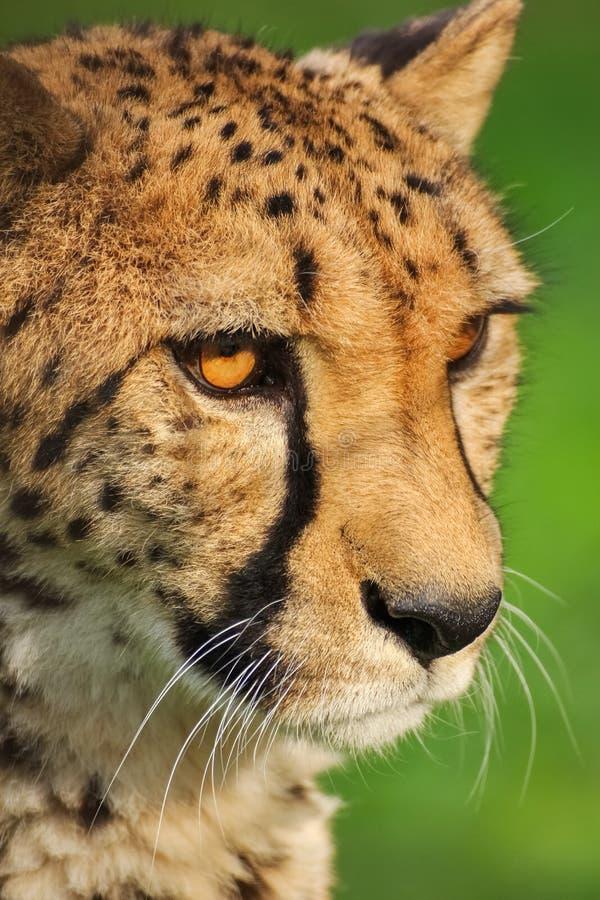 Głowa gepard Bestia, dzikie zwierzę obrazy stock