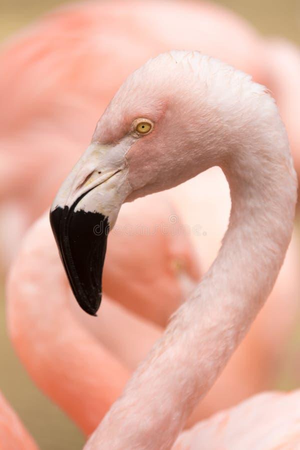Głowa i szyja zmonopolizowany Chilijski flaminga Phoenicopterus chilensis San Francisco zoo, Kalifornia zdjęcie royalty free
