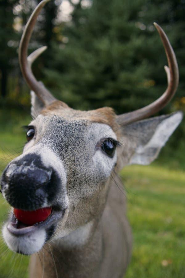 głowa jelenia śledzić white obrazy stock