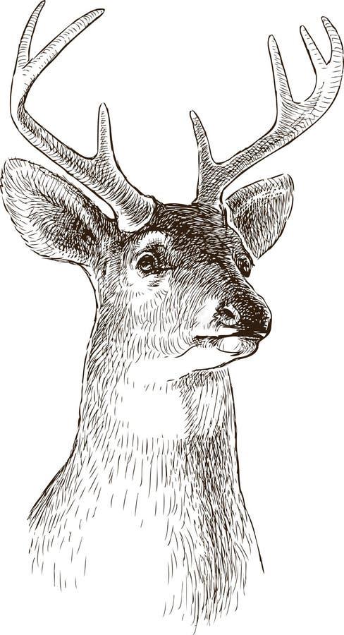 Głowa młody rogacz ilustracja wektor