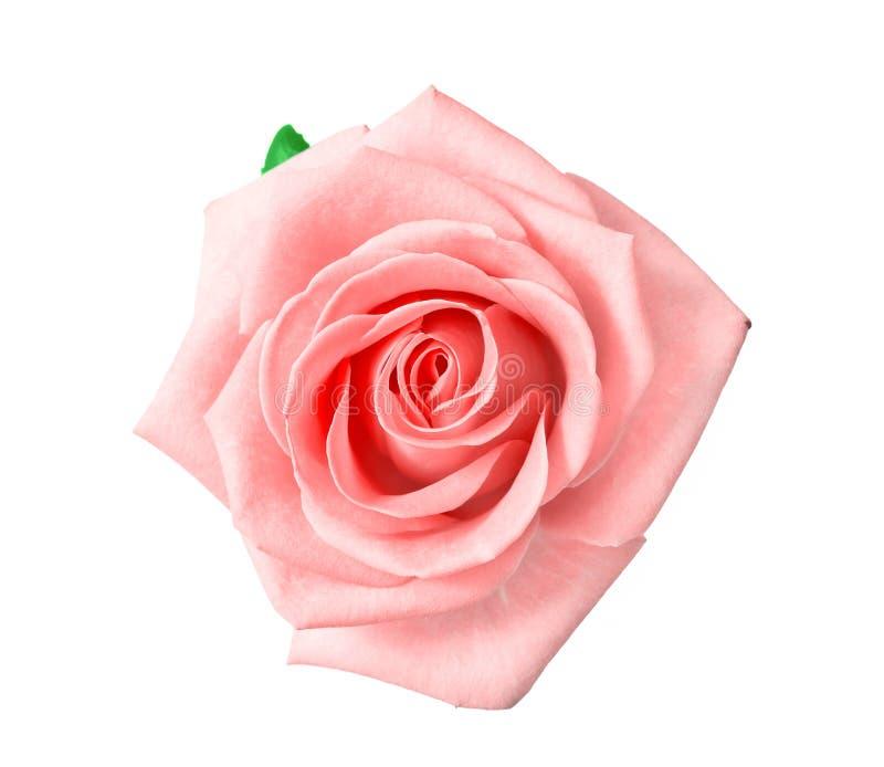 Głowa menchii róża fotografia royalty free