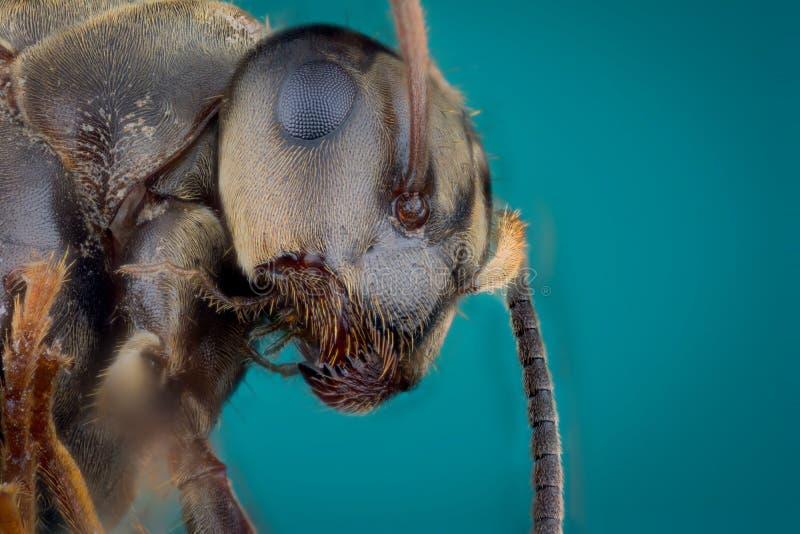Głowa mrówka zdjęcie royalty free