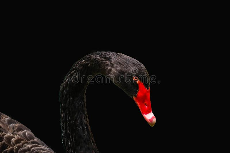 Głowa odizolowywająca Czarny łabędź fotografia royalty free