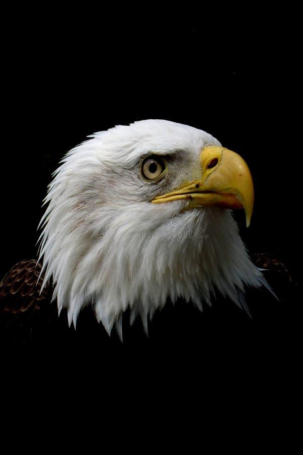 głowa orła łysego zdjęcia stock