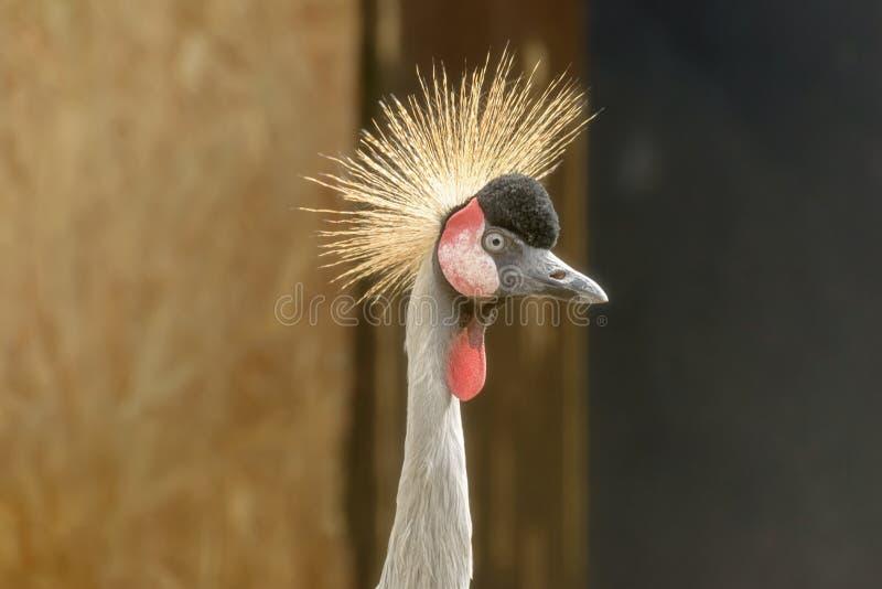 Głowa popielaty koronowany żuraw, Balearica regulorum obrazy royalty free