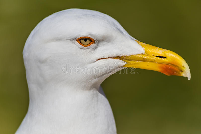 Głowa Seagull Z Zielonym tłem obrazy royalty free