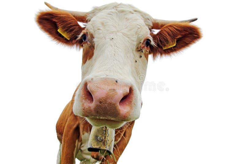 G?owa Simmental krowa z rogami i dzwonem z bia?ym t?em obraz royalty free