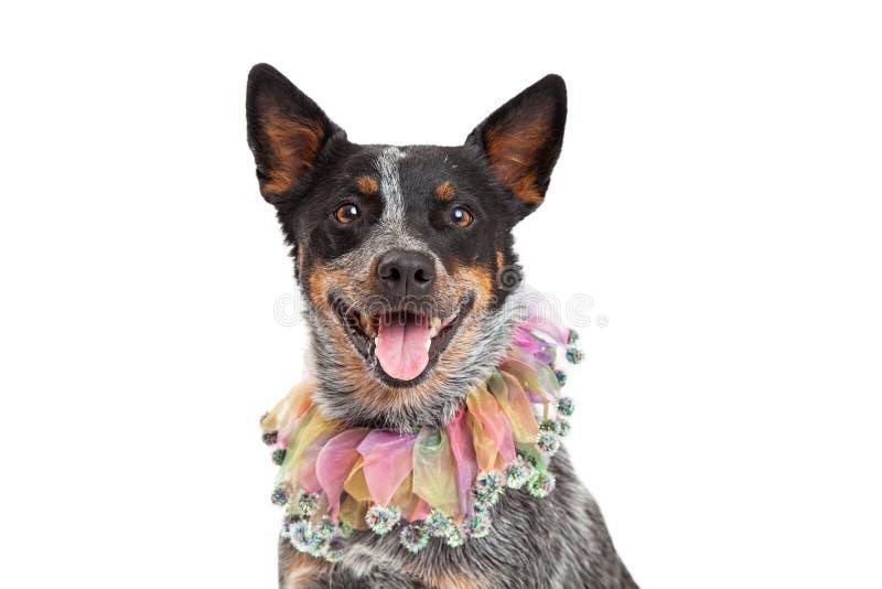Głowa strzał Australijskiego bydła Psi Jest ubranym Unikalny kołnierz obraz royalty free