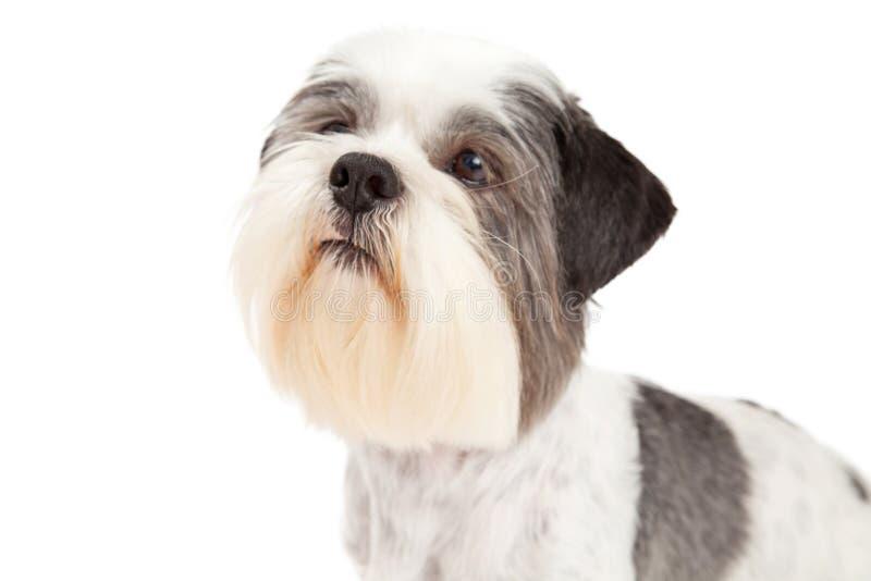 Głowa strzał Lhasa Apso pies zdjęcia royalty free