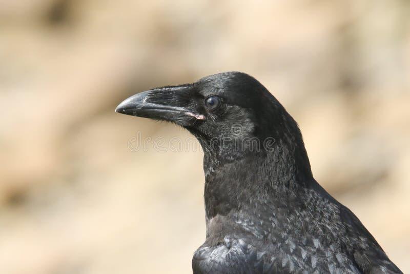 Głowa strzał piękny młody kruka Corvus corax umieszczał na clifftop na Orkney, Szkocja zdjęcie stock