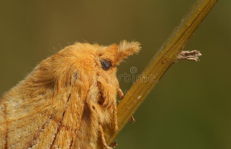 Głowa strzał piękny pijącego ćma Euthrix potatoria tyczenie na roślina trzonie zdjęcia stock