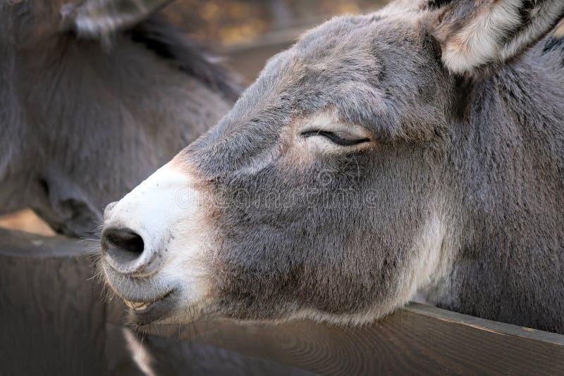 Głowa szarego burro zbliżenie fotografia stock
