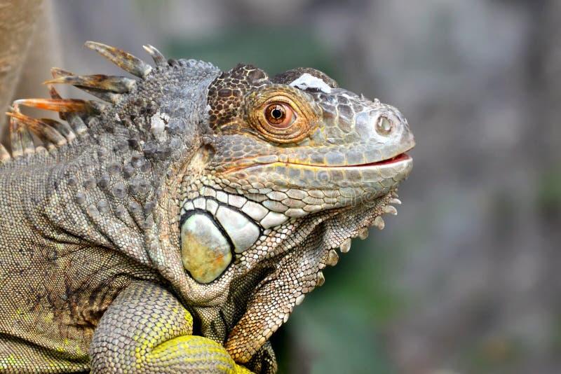 Głowa szarość i brąz barwił pięknej iguany Leguan jaszczurki zdjęcia stock