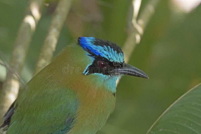 Głowa szczegóły Błękitny Corwned Motmot zdjęcie royalty free
