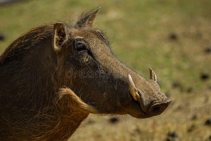 Głowa warthog obrazy royalty free