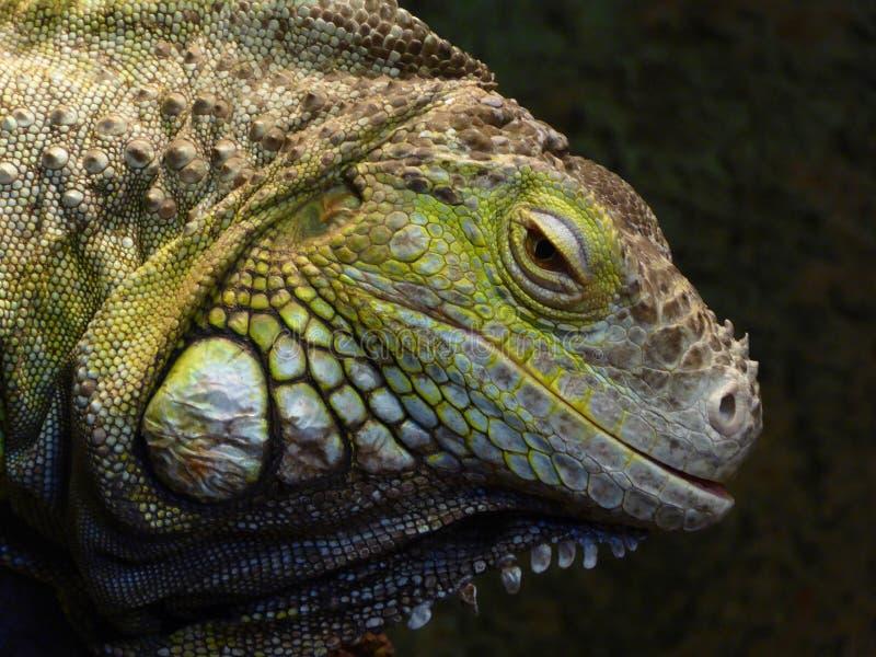 Głowa zielona iguana obraz royalty free