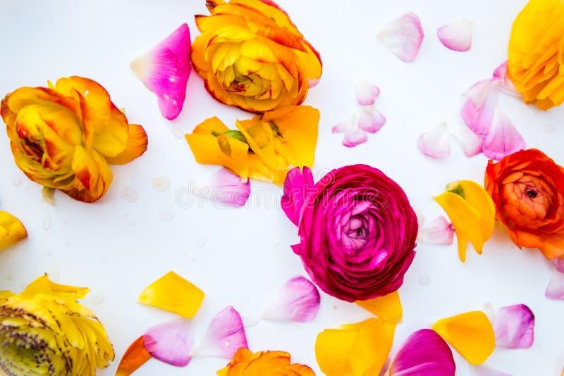 Głowy i płatki kolorowy perski jaskier kwitną (ranuncul zdjęcia stock