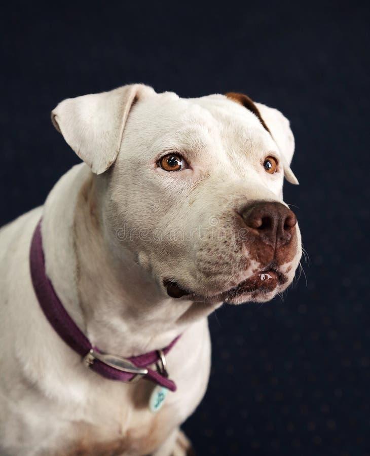 Głuchy i niewidomy biały Pitbull ono uśmiecha się w portret głowy strzale obraz stock