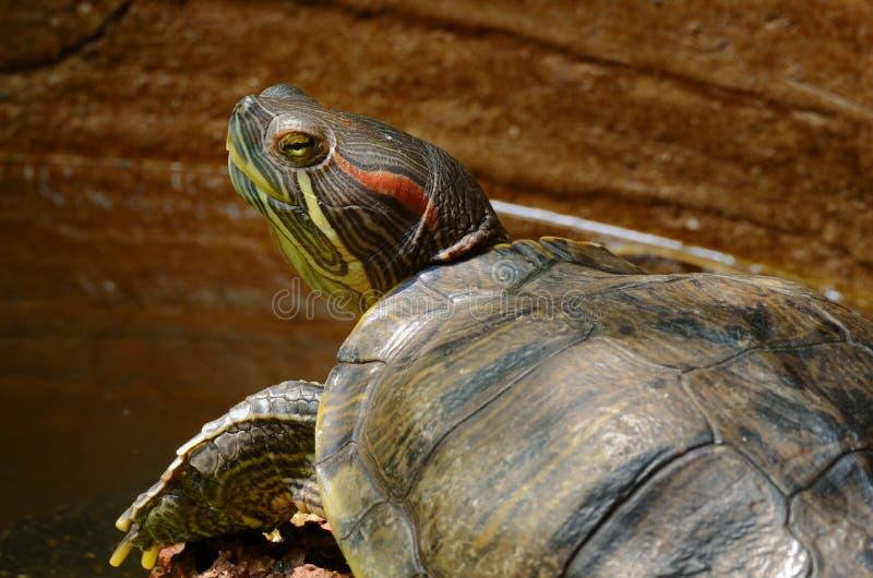 gå i ax röd glidaresköldpadda royaltyfri fotografi