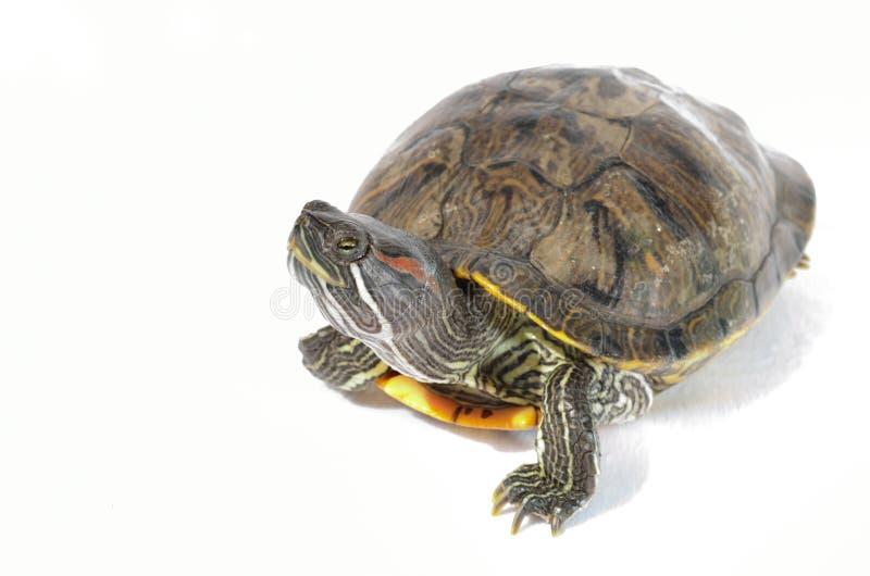 gå i ax röd glidaresköldpadda royaltyfria bilder