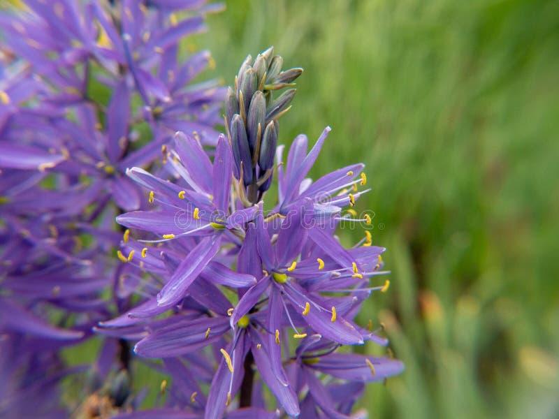 g??bii ?r?dpolne kwiatu ogr?du przesmyka purpury fotografia stock