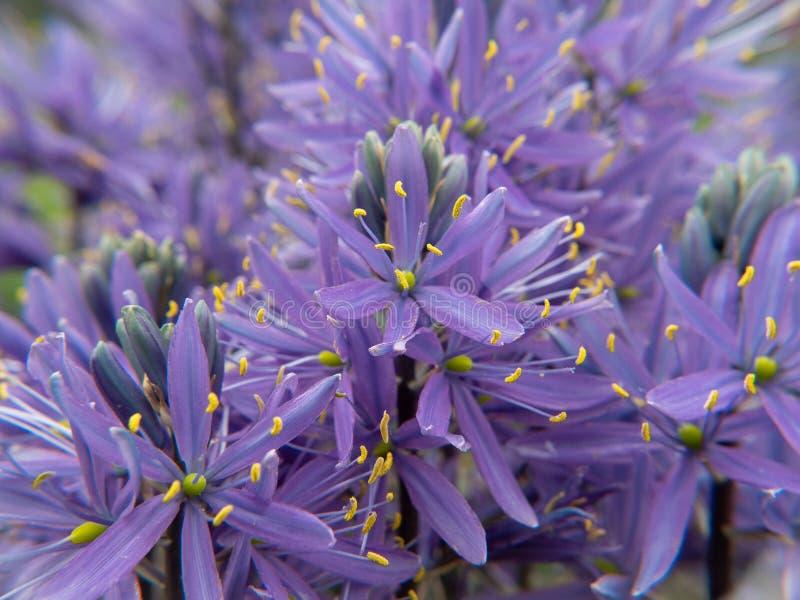 g??bii ?r?dpolne kwiatu ogr?du przesmyka purpury zdjęcie stock