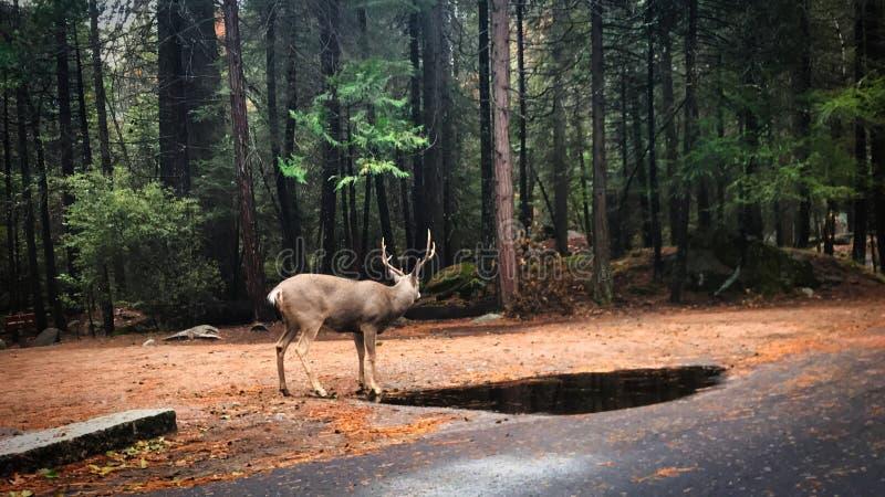 G? med djur f?r n?gra hjortar p? den yosemite nationalparken arkivfoto
