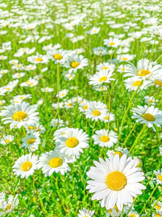 G?nsebl?mchenkamillenblumen auf gr?ner Feldwiese Fr?hlings- oder Sommerblumenhintergrund stockbilder
