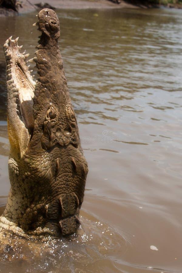 Download Głodny Croc zdjęcie stock. Obraz złożonej z dziki, zwierzę - 28953546