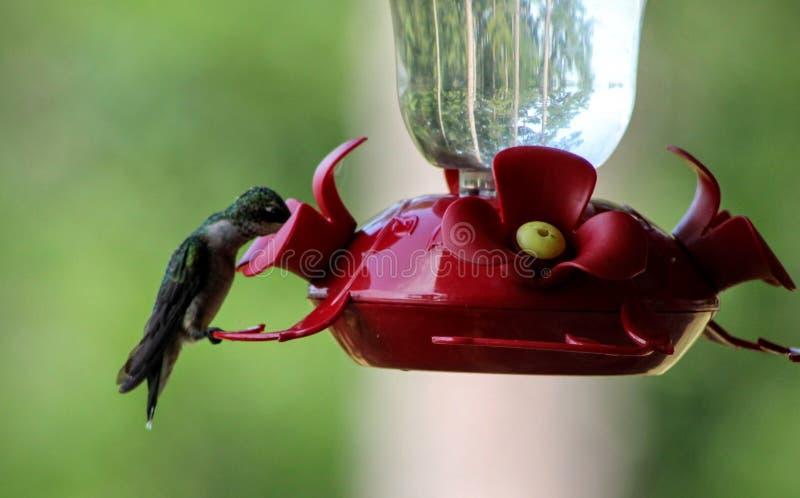 G?odny hummingbird obrazy royalty free