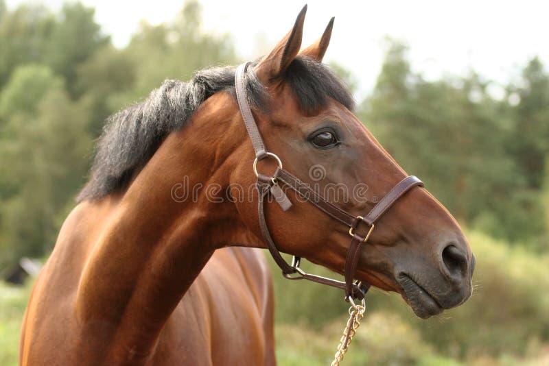 Download Głowa konia brown zdjęcie stock. Obraz złożonej z ucho - 4086244