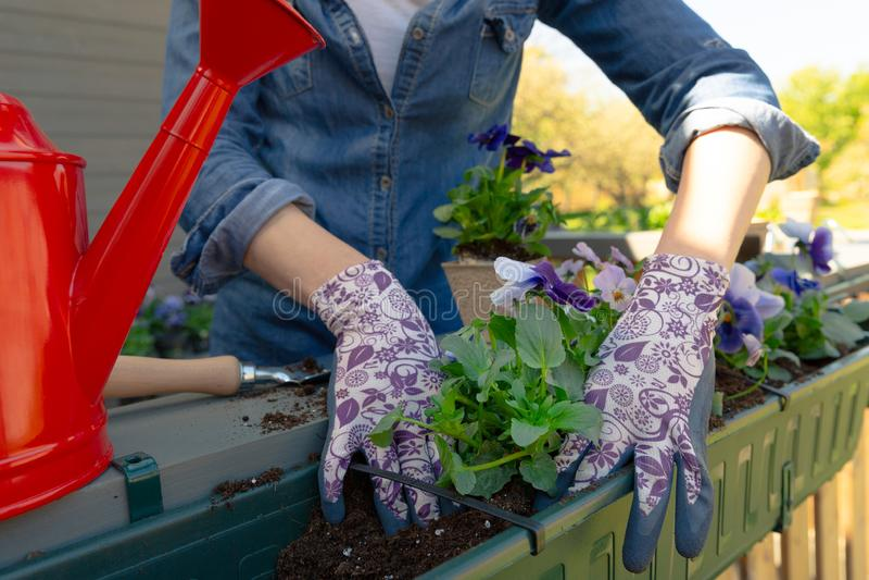 G?rtnerh?nde, die Blumen im Topf mit Schmutz oder Boden im Beh?lter auf Terrassenbalkongarten pflanzen Im Garten arbeitenkonzept lizenzfreie stockbilder