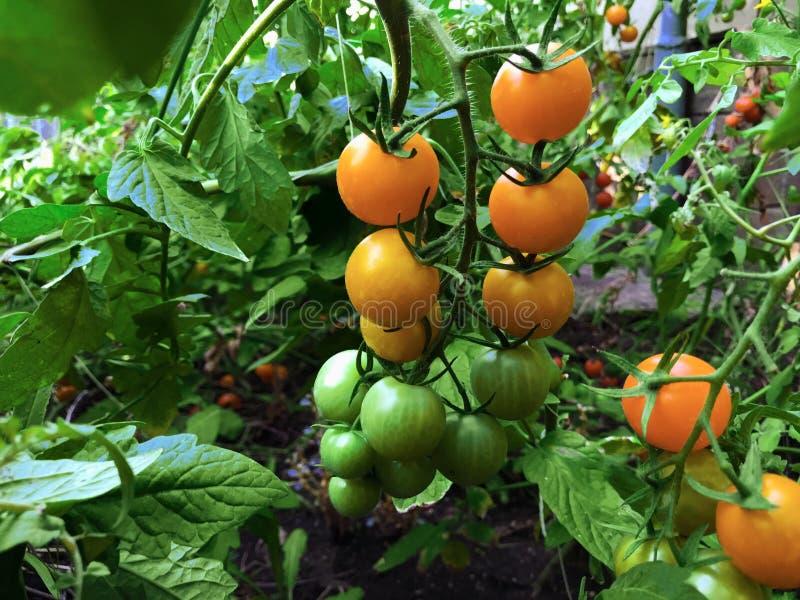 Gałąź świezi żółci czereśniowi pomidory wiesza na drzewach w organicznie gospodarstwie rolnym zdjęcie stock