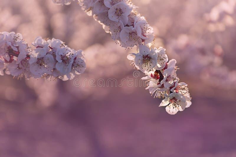 Gałąź różowy i biały brzoskwini drzewo kwitnie na naturalnym tle Menchie i miękcy świezi brzmienia Aitona krajobraz zdjęcie stock