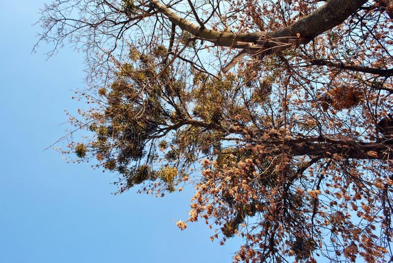 Gałąź z niektóre suchymi kolorów żółtych liśćmi zieloną jemiołą na błękitnym pogodnym nieba tle i zdjęcia royalty free