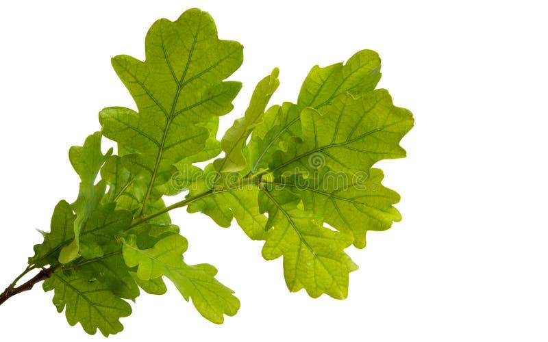 Gałąź z zielonymi liśćmi dąb obrazy royalty free