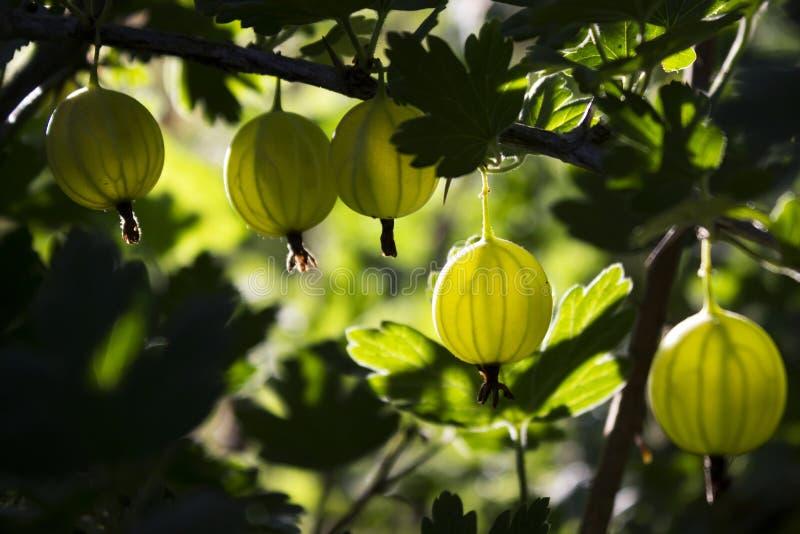 Gałęziasty krzak zielony agrest z dojrzałymi jagodami kwitnie w ogródzie obraz stock