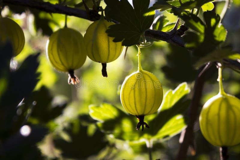 Gałęziasty krzak zielony agrest z dojrzałymi jagodami kwitnie w ogródzie fotografia royalty free