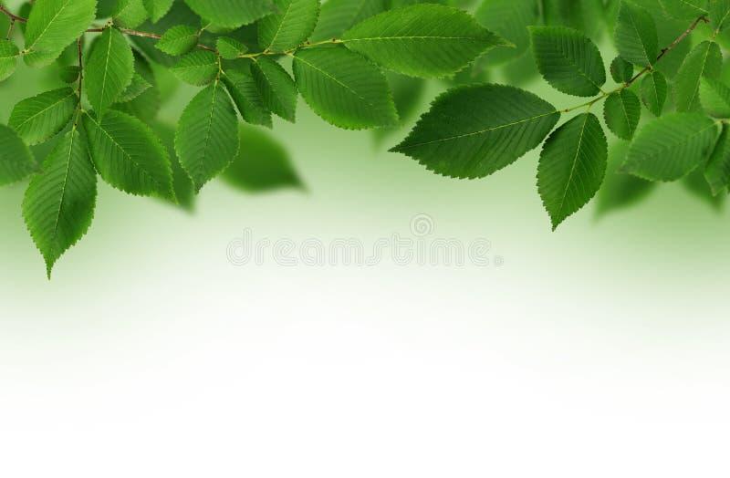 Gałąź świeży zielony wiąz opuszcza dla tła zdjęcie stock