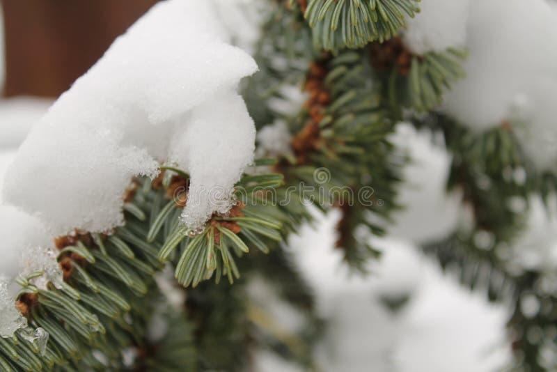 Gałąź świerczyna pod śniegiem zdjęcie royalty free