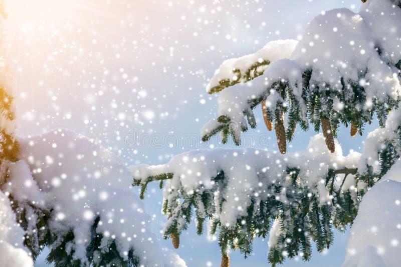 Gałąź świerku z zielonymi iglicami i stożkami pokryta głębokim śniegiem i chrapaniem oraz dużymi płatkami śniegu na roz fotografia royalty free