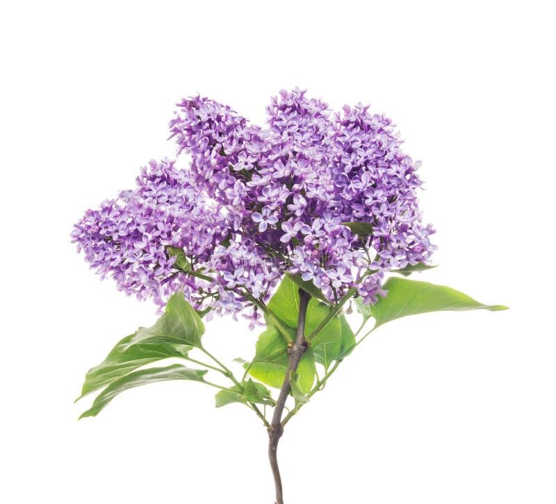 Gałąź świezi kwitnący bzy, odizolowywająca zdjęcia royalty free